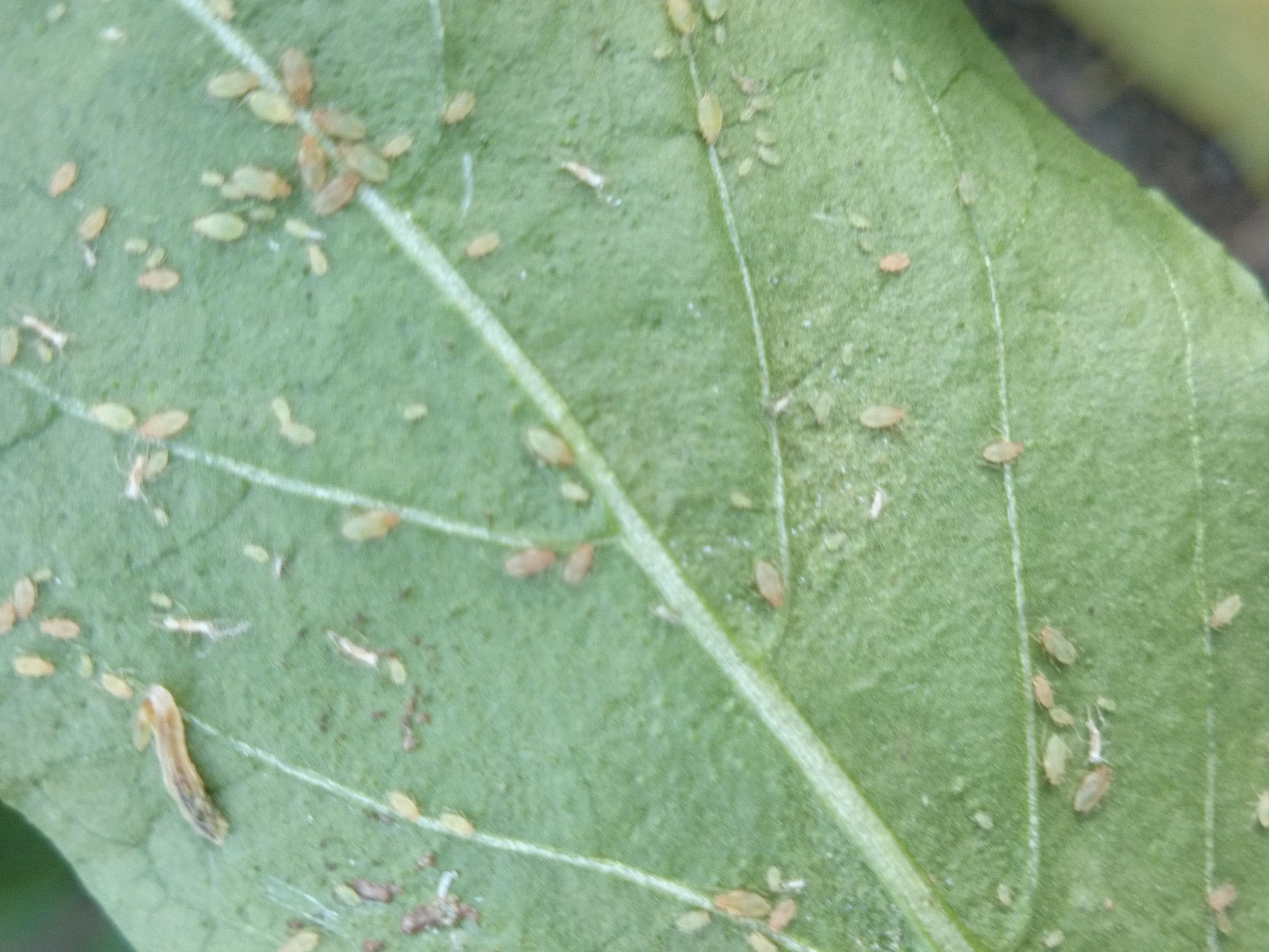 plant louses